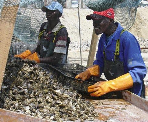 Mussel farming at Walvis Bay, appearing in Africa PORTS & SHIPS maritime news