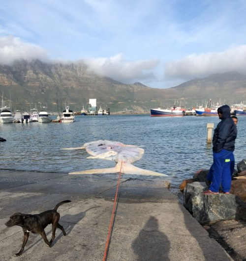 The whale carcass at the Hout Bay slipway, from a report appearing in Africa PORTS & SHIPS maritime news