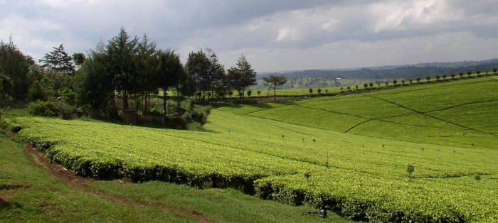 Kenya tea plantations. Picture: EATTA, featured on Africa PORTS & SHIPS