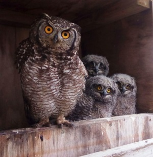 Natural predators such as owls are deployed in strategic areas around the port for poison free rodent control, featured in Africa PORTS & SHIPS maritime news