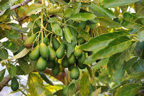 Avacaodo tree, as featured in Africa PORTS & SHIPS maritime news online