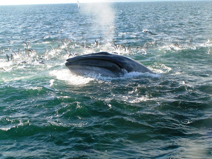 Bryde's whale off New Zealand. Picture: Wikipedia, featured in Africa PORTS & SHIPS maritime news