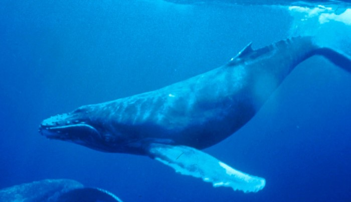 Humpback whale. Picture: Wikipedia, featured in Africa PORTS & SHIPS maritime news