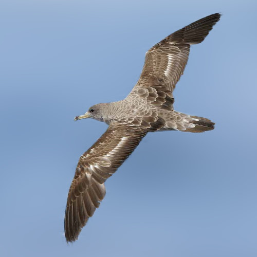 Cory's Shearwater. Image courtesy: Wikipedia Commons, featured in Africa PORTS & SHIPS maritime news