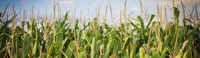 South Africa is expected to record a near record maize crop for 2019/20 , featured in Africa PORTS & SHIPS maritime news