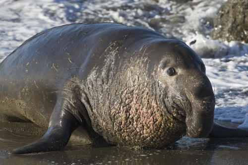 An elephant seal , featured in Africa PORTS & SHIPS maritime news